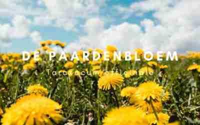 Eetbare wilde planten – De Paardenbloem